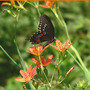 Blackberry Lily with Spicebush Swallowtail (Balemcanda chinesis)