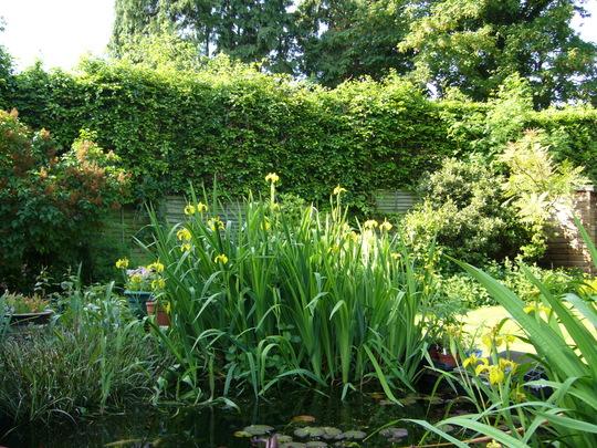yellow flag (Iris pseudacorus (Yellow Flag))