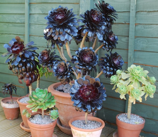 Succulent collection. (Aeonium arboreum Zwartkop.....)