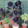 Succulent collection. (Aeonium arboreum Zwartkop.....)