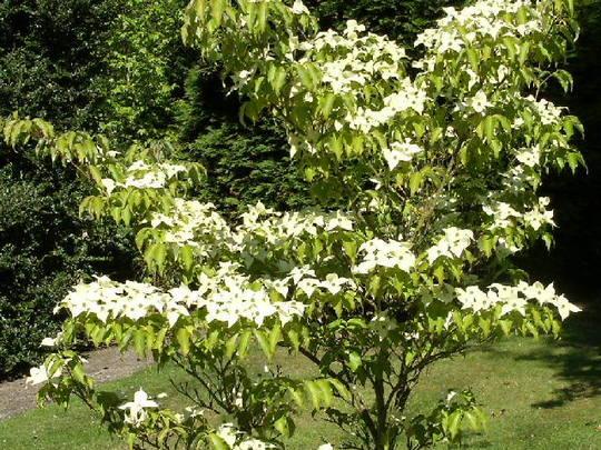 Cornus (Cornus   c.Kousa chinensis)