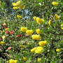 Cytisus battandieri (Pineapple broom)