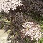 Black Elder in flower (Sambucus nigra (Black Elder))