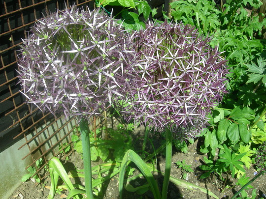 Giant Alliums Christophii (Allium albopilosum)
