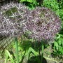 Giant Alliums Christophii (Allium albopilosum)