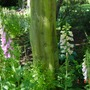 Self-seeded foxgloves in the wooded area (Digitalis)