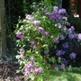 Clematis_doctor_ruppel_plant_2009