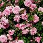 """Rose """"May Queen"""""""