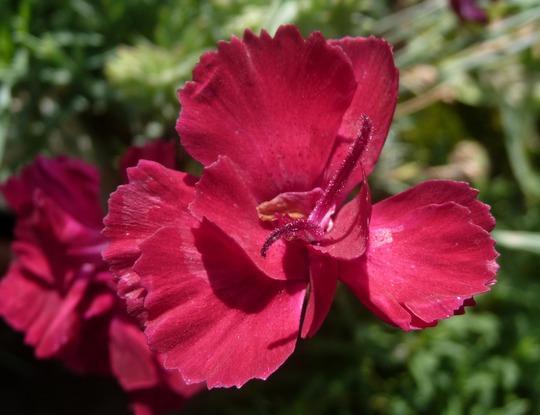 A garden flower photo (Dianthus gratianopolitanus (Cheddar Pink))