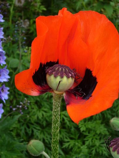 poppy half flower (Papaver orientalis 'Allegro')