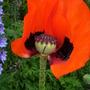 Poppy_half_flower_2.6.9