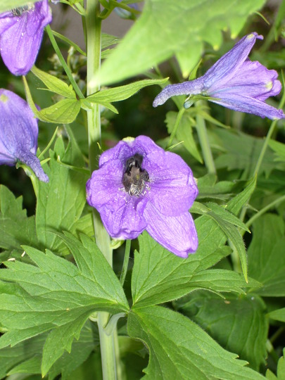 a_lavender_form_2.6.9_c.jpg (Delphinium elatum (Delphinium))