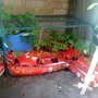 Tomato seedlings in growbags 2009-06-02 (Solanum lycopersicum (Tomato))