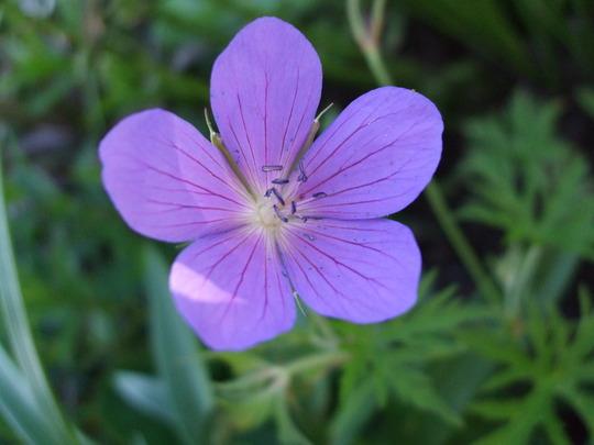 Geranium 'Nimbus' (Geranium)