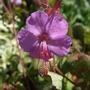 Geranium x cantabrigiense 'Westray' (Geranium x cantabrigiense (Hardy geranium))