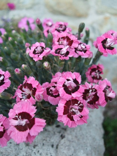 Alpine Pinks in the trough.