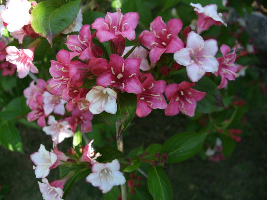 Weigela 39 carnaval 39 grows on you for Arbuste plein soleil persistant