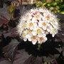 Physocarpus_opulifolius_diabolo_2009