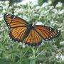 Viceroy Butterfly (Eupatorium perfoliatum)