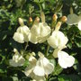Salvia_greggii_devon_cream_2009