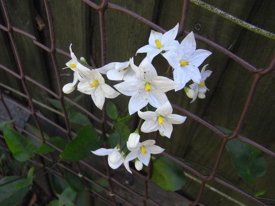 Solanum laxum 'Album' - 2009 (Solanum jasminoides)