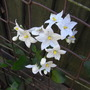 Solanum laxum &#x27;Album&#x27; - 2009 (Solanum jasminoides)