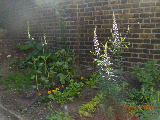 Linaria 'Canon Went' - and the veg