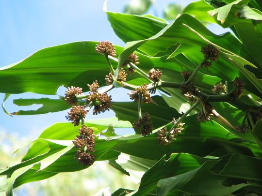 Beginning of winter in northern Oz: Happy Plant in flower - Dracaena fragrans 'Massangeana' (Dracaena fragrans 'Massangeana')