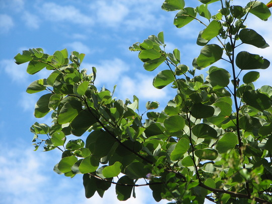 Beginning of winter in northern Oz: new growth on Bauhinia or Orchid Tree (Bauhinia Variegata - Alba)