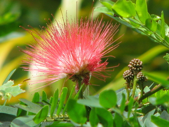 Beginning of winter in northern Oz: Red Powder Puff starts to bloom - Calliandra Haematocephala (Calliandra Haematocephala)
