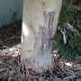 Beginning of winter in northern Oz: Gums are still shedding