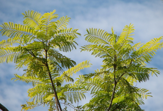 Beginning of winter in northern Oz:  Jacaranda is covered in new growth (Jacaranda mimosifolia (Brazil Rosewood))