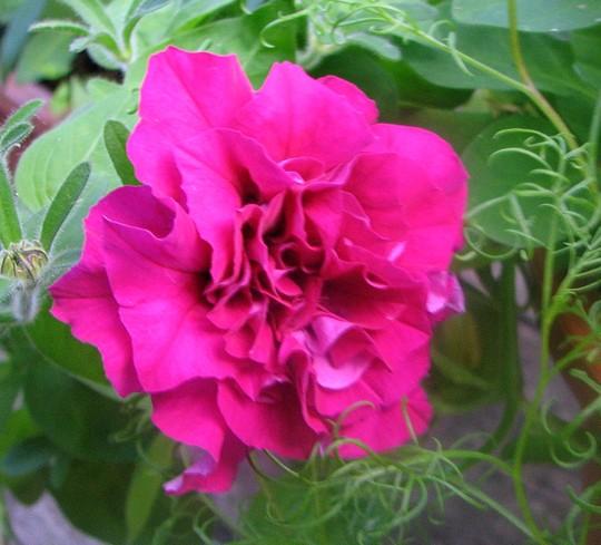 Wavy Petunia - another of the Petunia Bonanza series