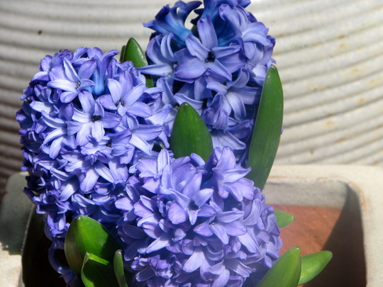 First time ever grown - Dutch Hyacinth (Hyacinthus orientalis (Hyacinth))