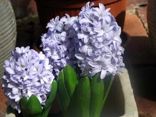 First time ever grown - Dutch Hyacinth (Hyacinthus orientalis (Hyacinth))