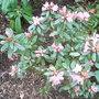 Rhododendron 'Pintail' (Rhododendron 'Pintail')