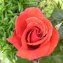 Rose , sorry I don,t know the name 