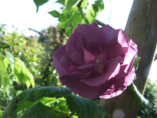 Rose_-_Rhapsody_in_Blue.jpg
