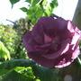 Rose_rhapsody_in_blue