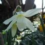 Narcissus_thalia_2