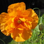 Orange Poppy  (Meconopsis cambrica (Double Welsh Poppy))