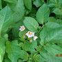 potatoes flowering