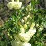 Salvia_x_jamensis_skylights_primrose_
