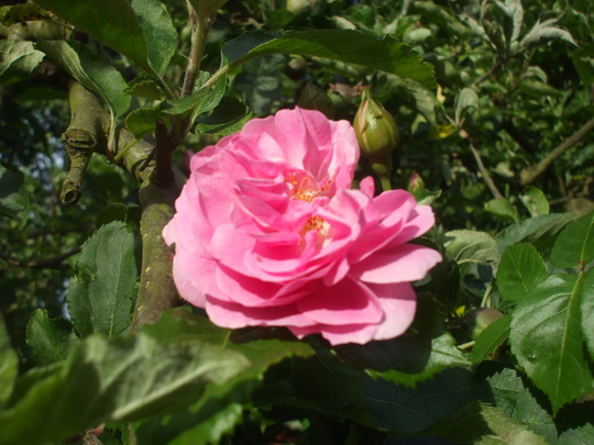 A Rose growing thro' the lil' apple tree (Rosa Zephirine Drouhin)