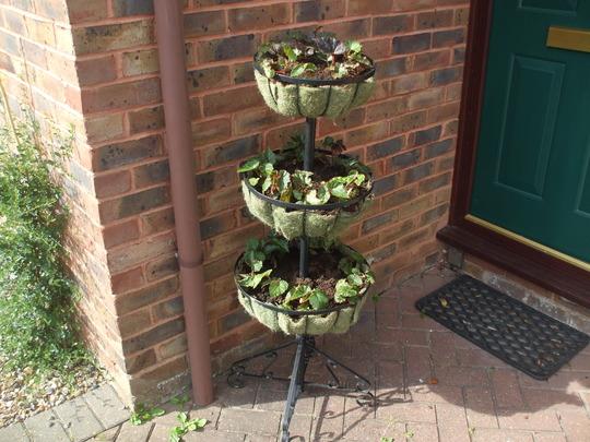 Trailing Begonia's