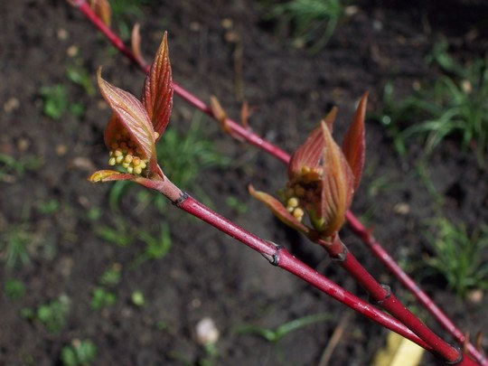 Dog Wood Buds Opening  :) (Cornus florida (Flowering Dogwood))