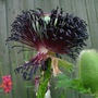 New_and_old_poppy_seeds_and_bud_june_2009