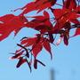 Bloodgood Acer