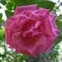 Rosa_zepherine_drouhin_