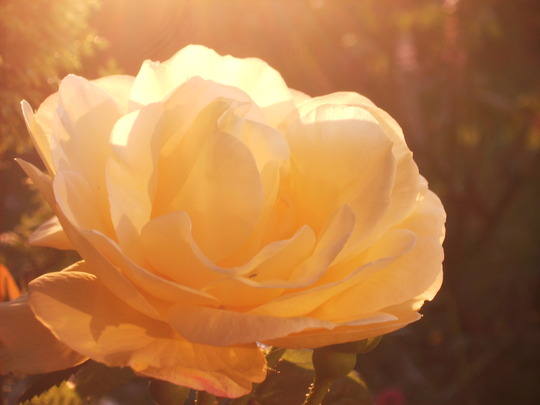 Yellow Rose in the Evening